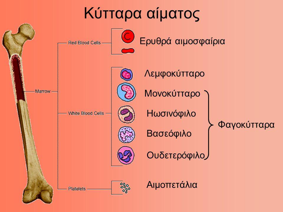 Ώριμα ερυθρά αιμοσφαίρια (απύρηνα).Διακρίνονται και δύο λευκά αιμοσφαίρια με πορφυρούς πυρήνες.