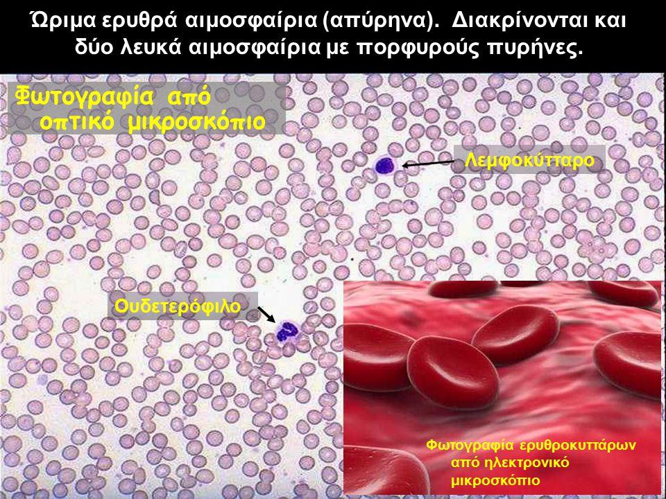 Ώριμα ερυθρά αιμοσφαίρια (απύρηνα). Διακρίνονται και δύο λευκά αιμοσφαίρια με πορφυρούς πυρήνες. Φωτογραφία από οπτικό μικροσκόπιο Φωτογραφία ερυθροκυ