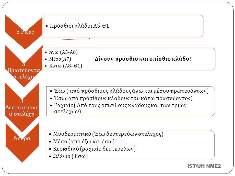 IST/UH NMΣ2 5 Ρίζες Πρόσθιοι κλάδοι Α 5- Θ 1 3 Πρωτεύοντα στελέχη Άνω ( Α 5- Α 6) Μέσο ( Α 7) Δίνουν π ρόσθιο και ο π ίσθιο κλάδο ! Κάτω ( Α 8- Θ 1) 3