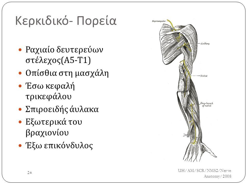 Κερκιδικό - Πορεία Ραχιαίο δευτερεύων στέλεχος ( Α 5- Τ 1) Οπίσθια στη μασχάλη Έσω κεφαλή τρικεφάλου Σπιροειδής άυλακα Εξωτερικά του βραχιονίου Έξω επ