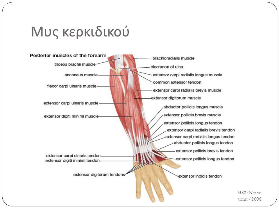 Μυς κερκιδικού UH/AM/SCR/NMS2/Nerve Anatomy/2008 27