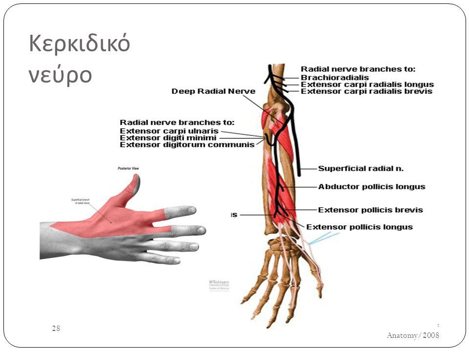 Κερκιδικό νεύρο UH/AM/SCR/NMS2/Nerve Anatomy/2008 28