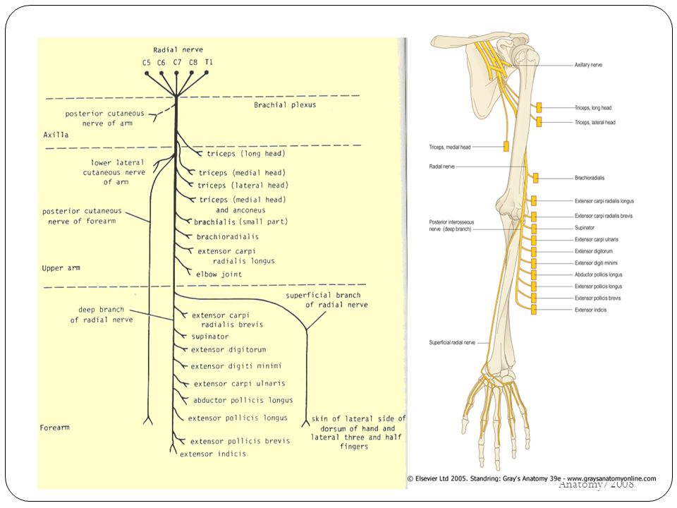 κερκιδικό UH/AM/SCR/NMS2/Nerve Anatomy/2008 30