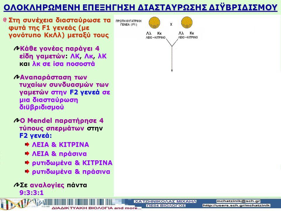 Στη συνέχεια διασταύρωσε τα φυτά της F1 γενεάς (με γονότυπο ΚκΛλ) μεταξύ τους Κάθε γονέας παράγει 4 είδη γαμετώνΛΚΛκλΚ λκσε ίσα ποσοστά Κάθε γονέας παράγει 4 είδη γαμετών: ΛΚ, Λκ, λΚ και λκ σε ίσα ποσοστά Αναπαράσταση των τυχαίων συνδυασμών των γαμετώνστην F2 γενεά σε μια διασταύρωση διϋβριδισμού Αναπαράσταση των τυχαίων συνδυασμών των γαμετών στην F2 γενεά σε μια διασταύρωση διϋβριδισμού Ο Mendel παρατήρησε 4 τύπους σπερμάτων F2 γενεά: Ο Mendel παρατήρησε 4 τύπους σπερμάτων στην F2 γενεά: ΛΕΙΑ & ΚΙΤΡΙΝΑ ΛΕΙΑ & πράσινα ρυτιδωμένα & ΚΙΤΡΙΝΑ ρυτιδωμένα & πράσινα αναλογίες 9:3:3:1 Σε αναλογίες πάντα 9:3:3:1 ΟΛΟΚΛΗΡΩΜΕΝΗ ΕΠΕΞΗΓΗΣΗ ΔΙΑΣΤΑΥΡΩΣΗΣ ΔΙΫΒΡΙΔΙΣΜΟΥ