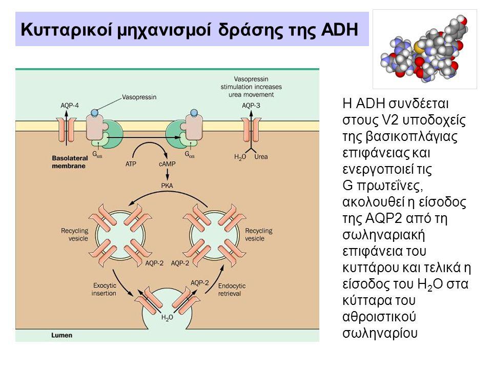 Κυτταρικοί μηχανισμοί δράσης της ADH Η ADH συνδέεται στους V2 υποδοχείς της βασικοπλάγιας επιφάνειας και ενεργοποιεί τις G πρωτεΐνες, ακολουθεί η είσο