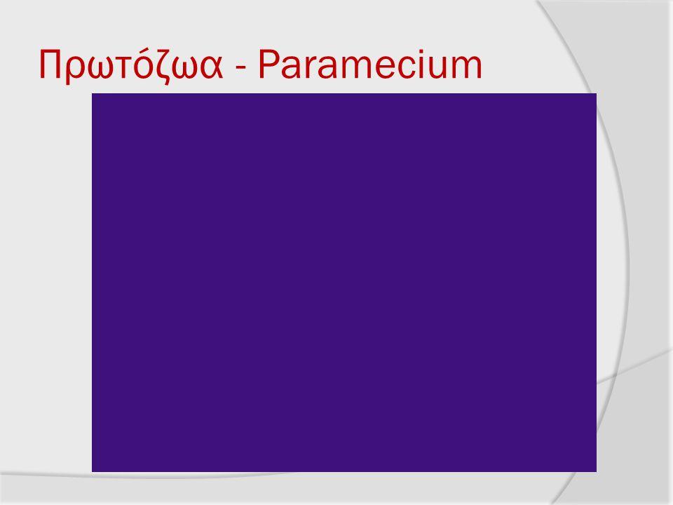 Πρωτόζωα - Paramecium