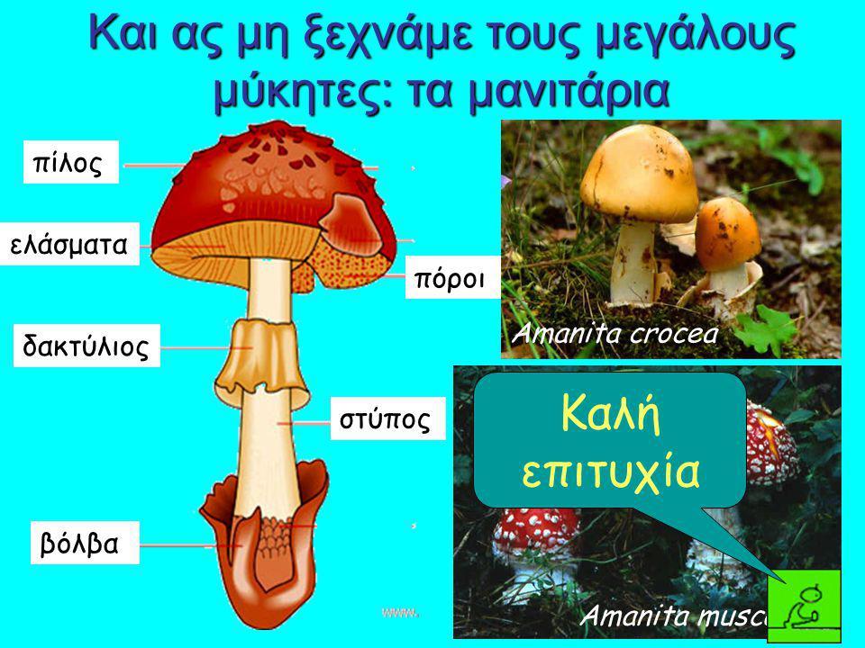 Και ας μη ξεχνάμε τους μεγάλους μύκητες: τα μανιτάρια πίλος ελάσματα δακτύλιος βόλβα στύπος πόροι Amanita muscaria Amanita crocea Καλή επιτυχία