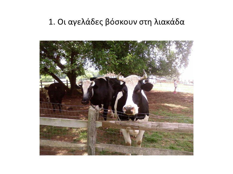 1. Οι αγελάδες βόσκουν στη λιακάδα