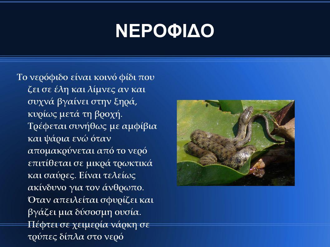 ΝΕΡΟΦΙΔΟ Το νερόφιδο είναι κοινό φίδι που ζει σε έλη και λίμνες αν και συχνά βγαίνει στην ξηρά, κυρίως μετά τη βροχή. Τρέφεται συνήθως με αμφίβια και