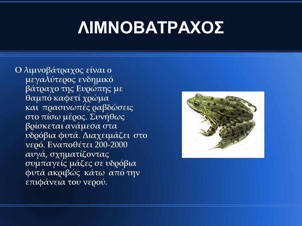ΛΙΜΝΟΒΑΤΡΑΧΟΣ Ο λιμνοβάτραχος είναι ο μεγαλύτερος ενδημικό βάτραχο της Ευρώπης με θαμπό καφετί χρώμα και πρασινωπές ραβδώσεις στο πίσω μέρος. Συνήθως