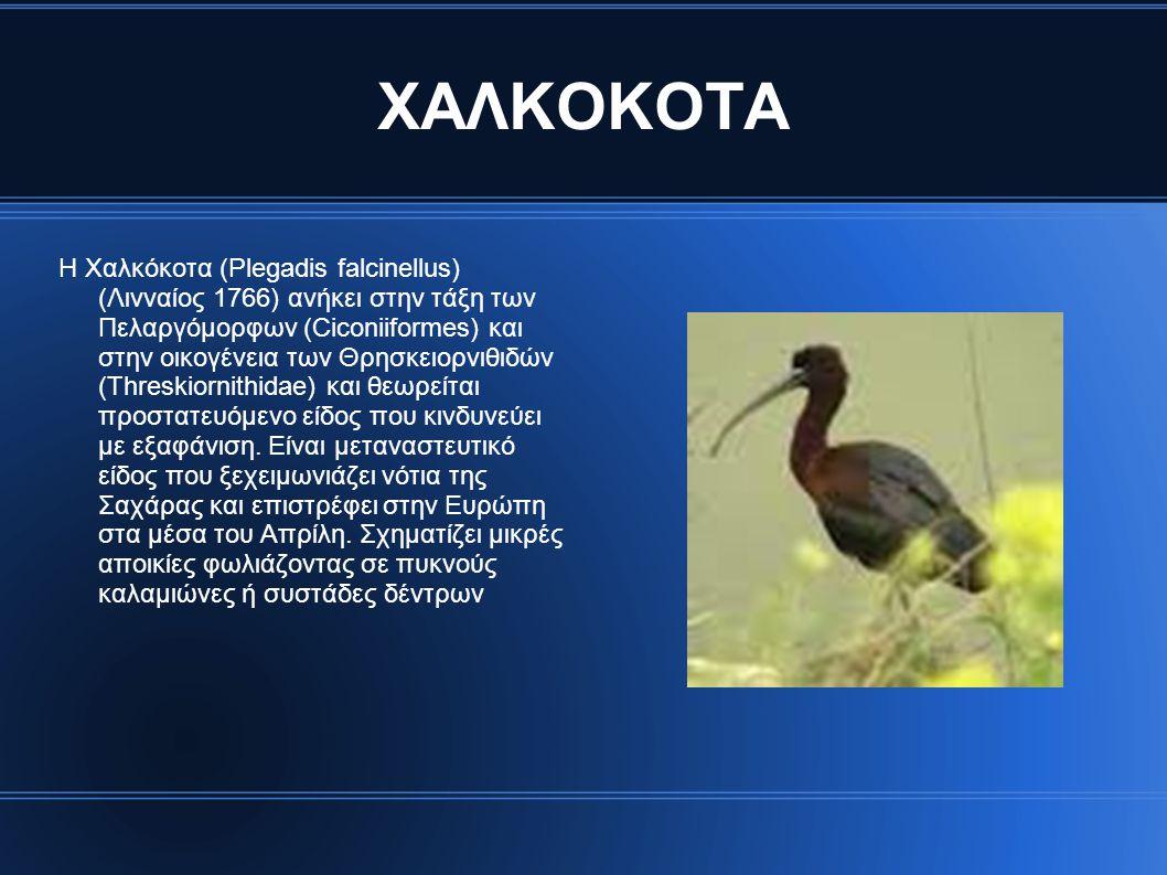 ΧΑΛΚΟΚΟΤΑ Η Χαλκόκοτα (Plegadis falcinellus) (Λινναίος 1766) ανήκει στην τάξη των Πελαργόμορφων (Ciconiiformes) και στην οικογένεια των Θρησκειορνιθιδών (Threskiornithidae) και θεωρείται προστατευόμενο είδος που κινδυνεύει με εξαφάνιση.