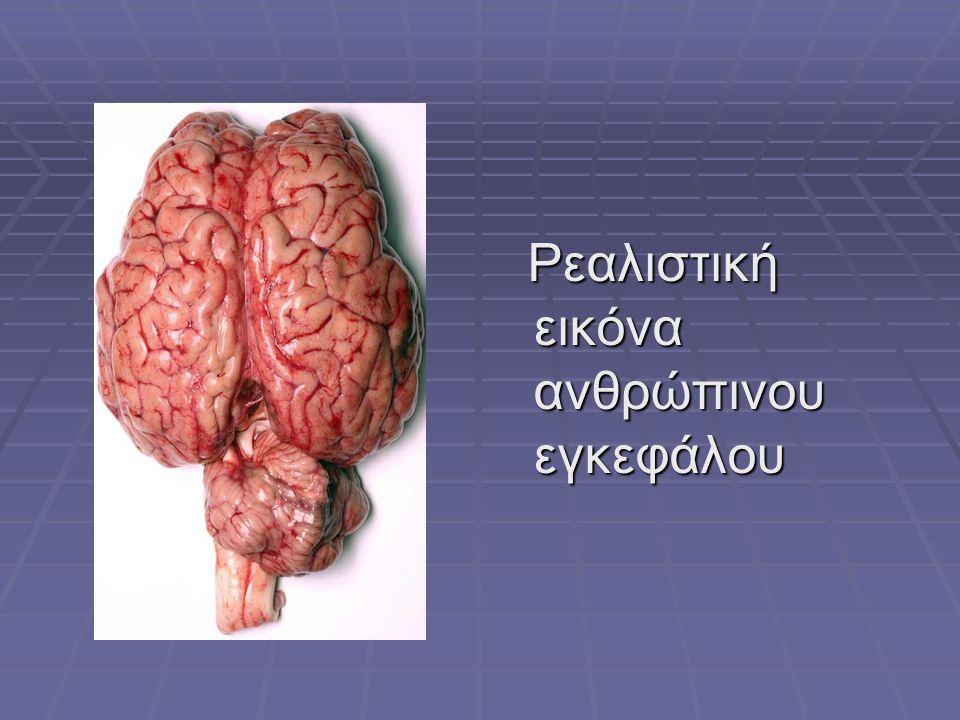 Ρεαλιστική εικόνα ανθρώπινου εγκεφάλου Ρεαλιστική εικόνα ανθρώπινου εγκεφάλου