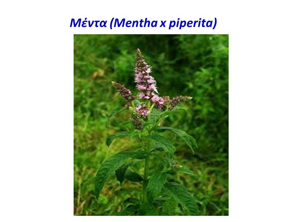 Μέντα (Mentha x piperita)