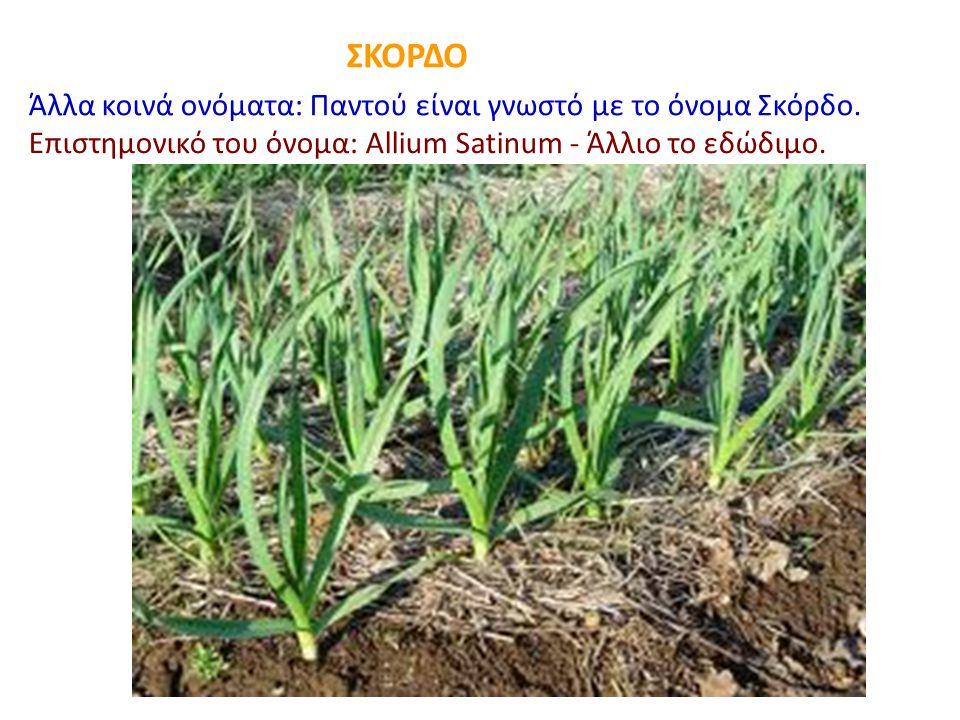 ΣΚΟΡΔΟ Άλλα κοινά ονόματα: Παντού είναι γνωστό με το όνομα Σκόρδο. Επιστημονικό του όνομα: Allium Satinum - Άλλιο το εδώδιμο.