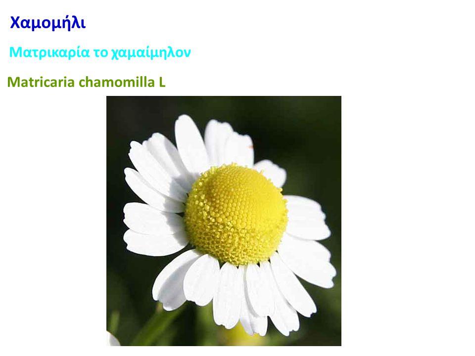 Χαμομήλι Ματρικαρία το χαμαίμηλον Matricaria chamomilla L