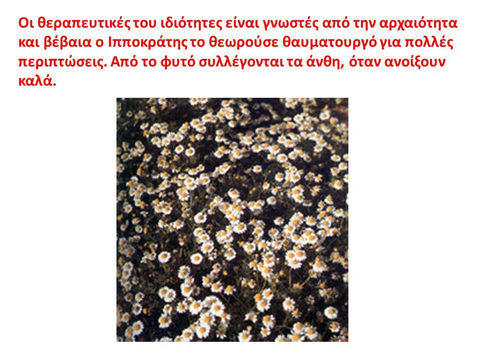 Οι θεραπευτικές του ιδιότητες είναι γνωστές από την αρχαιότητα και βέβαια ο Ιπποκράτης το θεωρούσε θαυματουργό για πολλές περιπτώσεις. Από το φυτό συλ