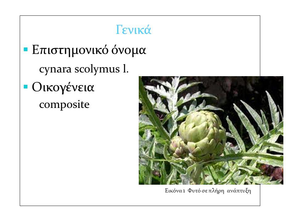 Γενικά  Επιστημονικό όνομα cynara scolymus l.  Οικογένεια composite Εικόνα 1 Φυτό σε πλήρη ανάπτυξη