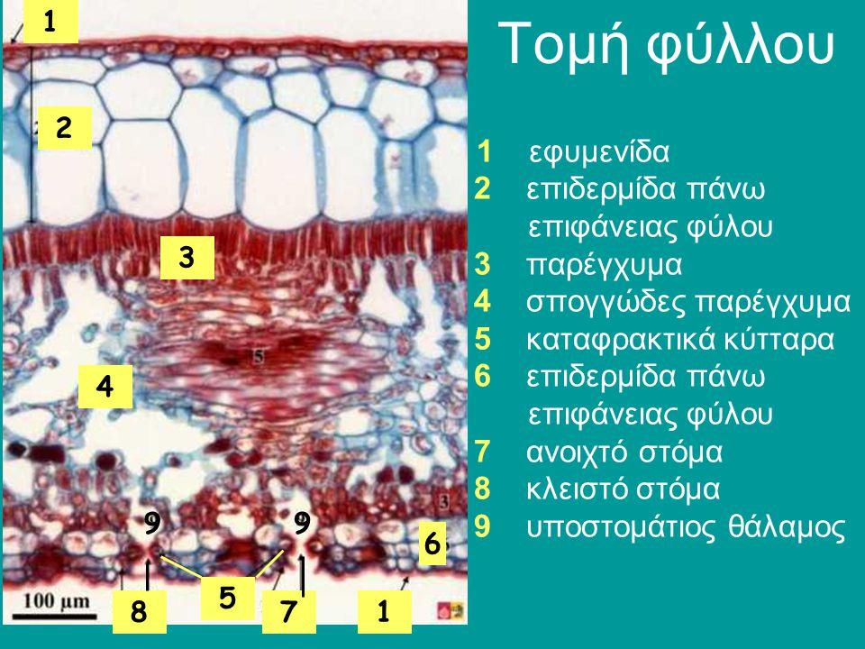 Τομή φύλλου 1 εφυμενίδα 2 επιδερμίδα πάνω επιφάνειας φύλου 3 παρέγχυμα 4 σπογγώδες παρέγχυμα 5 καταφρακτικά κύτταρα 6 επιδερμίδα πάνω επιφάνειας φύλου 7 ανοιχτό στόμα 8 κλειστό στόμα 9 υποστομάτιος θάλαμος 1 2 3 4 6 78 99 5 1