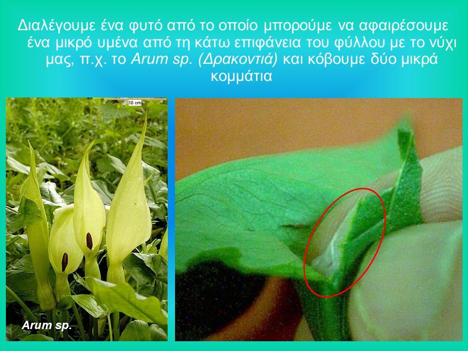 Διαλέγουμε ένα φυτό από το οποίο μπορούμε να αφαιρέσουμε ένα μικρό υμένα από τη κάτω επιφάνεια του φύλλου με το νύχι μας, π.χ.