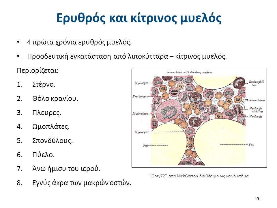 Ερυθρός και κίτρινος μυελός 4 πρώτα χρόνια ερυθρός μυελός. Προοδευτική εγκατάσταση από λιποκύτταρα – κίτρινος μυελός. Περιορίζεται: 1.Στέρνο. 2.Θόλο κ