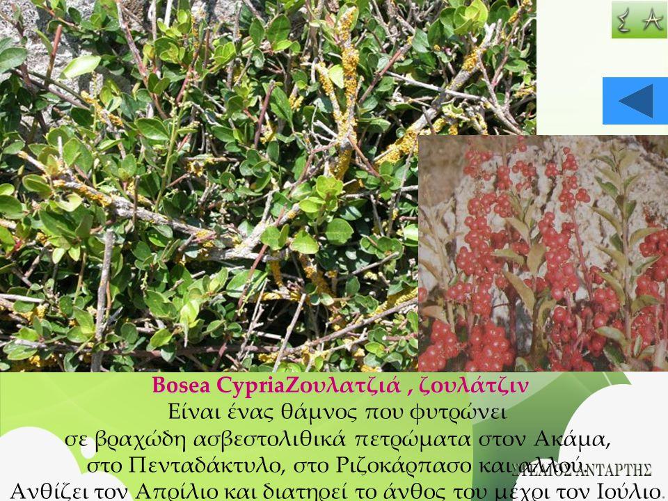 Bosea CypriaΖουλατζιά, ζουλάτζιν Είναι ένας θάμνος που φυτρώνει σε βραχώδη ασβεστολιθικά πετρώματα στον Ακάμα, στο Πενταδάκτυλο, στο Ριζοκάρπασο και α