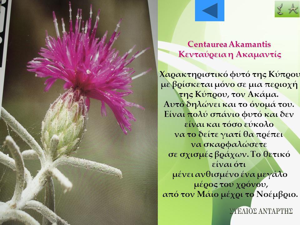 Centaurea Akamantis Κενταύρεια η Ακαμαντίς Χαρακτηριστικό φυτό της Κύπρου με βρίσκεται μόνο σε μια περιοχή της Κύπρου, τον Ακάμα. Αυτό δηλώνει και το