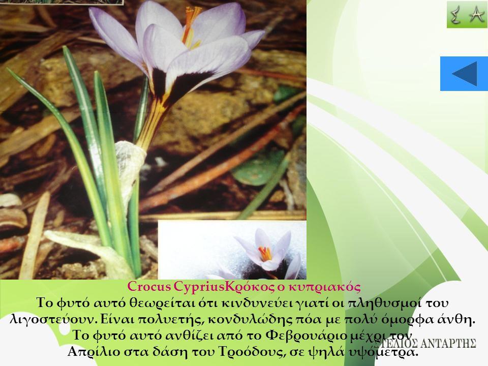 Crocus CypriusΚρόκος ο κυπριακός Το φυτό αυτό θεωρείται ότι κινδυνεύει γιατί οι πληθυσμοί του λιγοστεύουν. Είναι πολυετής, κονδυλώδης πόα με πολύ όμορ