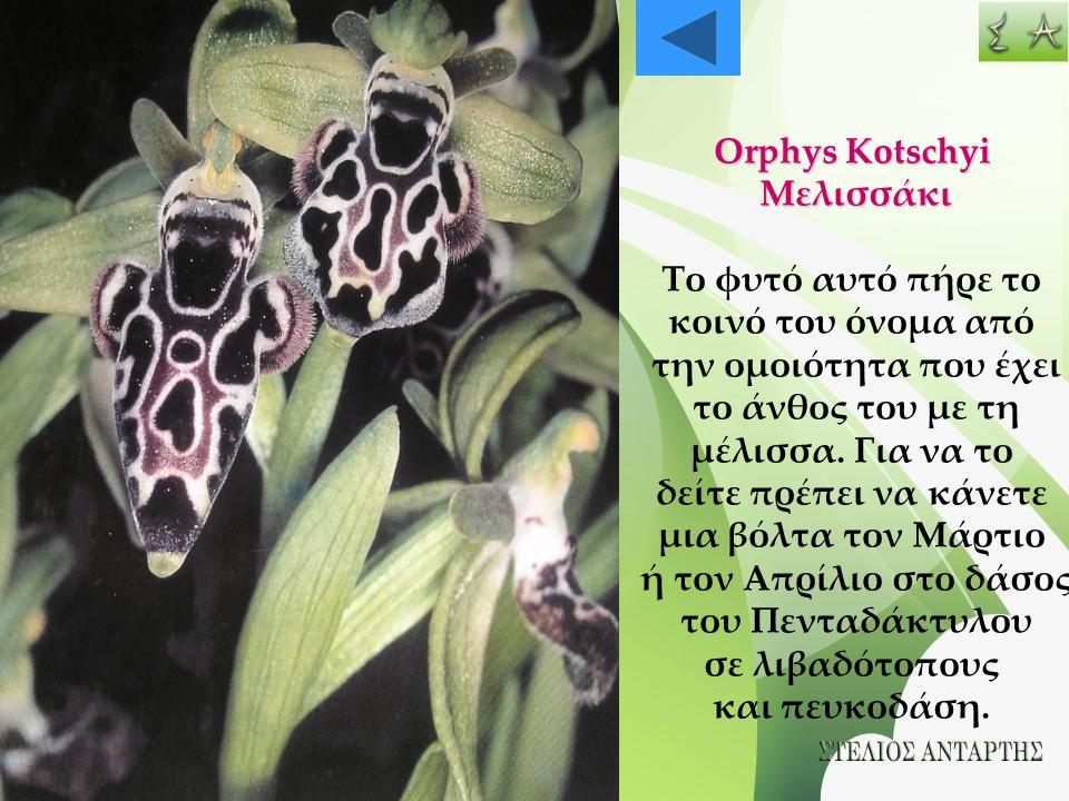 Orphys Kotschyi Μελισσάκι Το φυτό αυτό πήρε το κοινό του όνομα από την ομοιότητα που έχει το άνθος του με τη μέλισσα. Για να το δείτε πρέπει να κάνετε