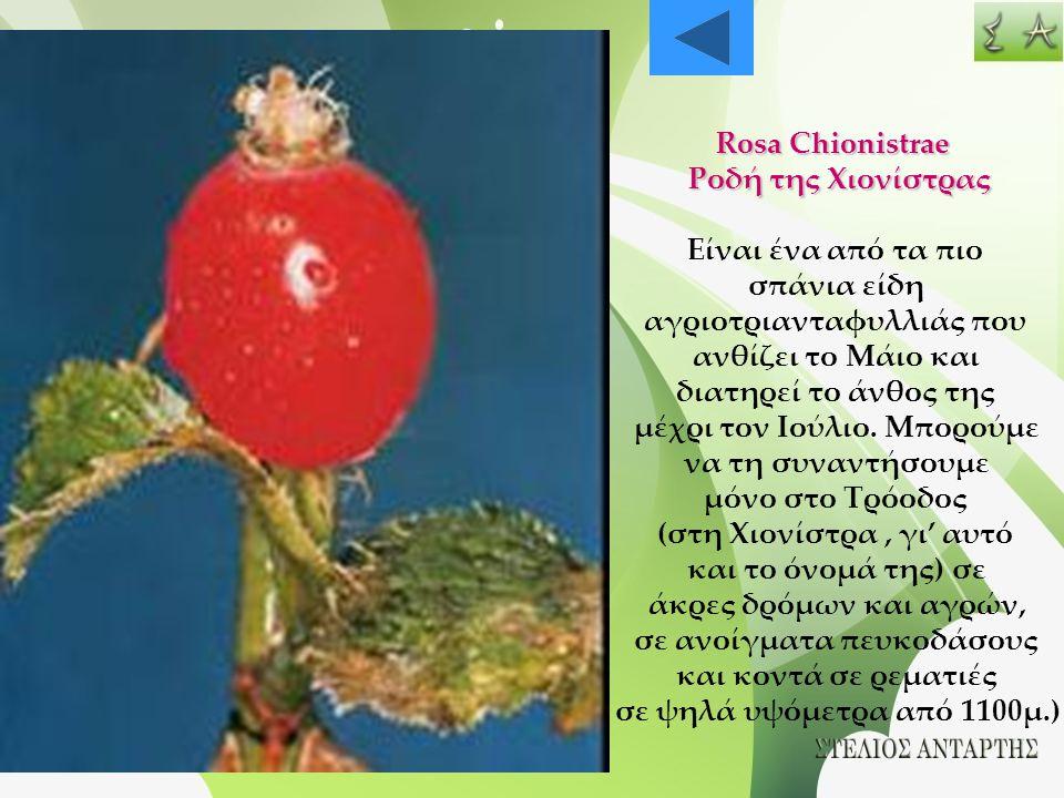 Rosa Chionistrae Ροδή της Χιονίστρας Είναι ένα από τα πιο σπάνια είδη αγριοτριανταφυλλιάς που ανθίζει το Μάιο και διατηρεί το άνθος της μέχρι τον Ιούλ