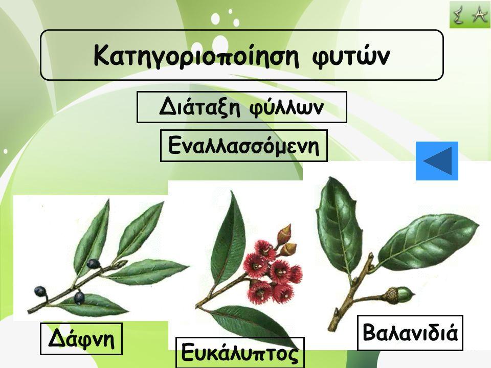 Κατηγοριοποίηση φυτών Διάταξη φύλλων Εναλλασσόμενη Δάφνη Ευκάλυπτος Βαλανιδιά