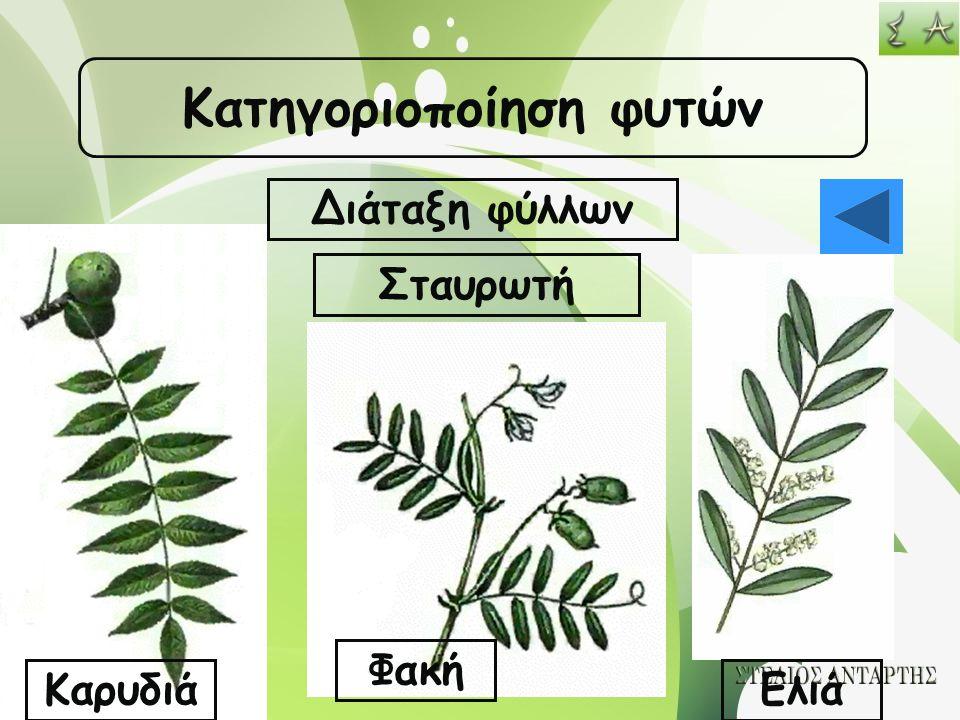 Κατηγοριοποίηση φυτών Διάταξη φύλλων Σταυρωτή Καρυδιά Φακή Ελιά
