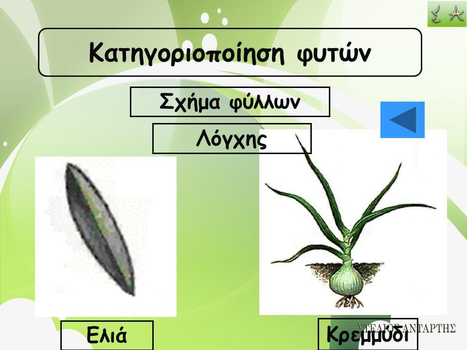 Κατηγοριοποίηση φυτών Σχήμα φύλλων Λόγχης Ελιά Κρεμμύδι