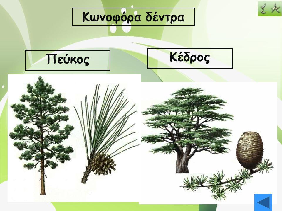 Κωνοφόρα δέντρα Πεύκος Κέδρος