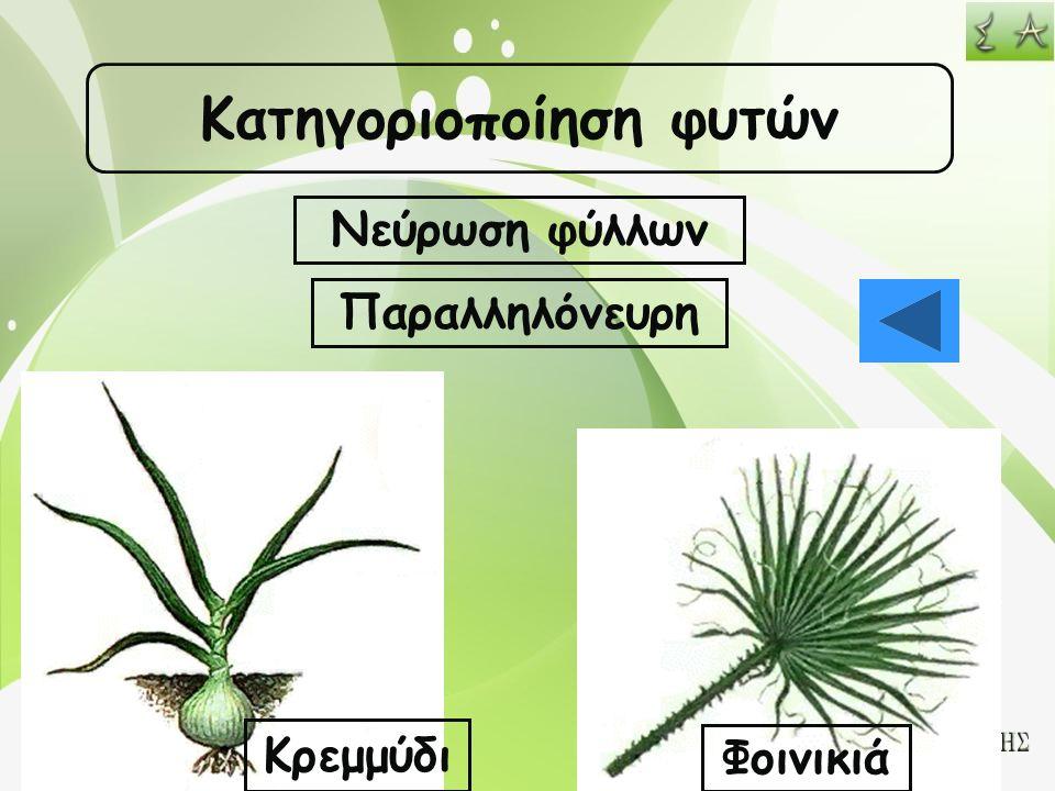Κατηγοριοποίηση φυτών Νεύρωση φύλλων Παραλληλόνευρη Κρεμμύδι Φοινικιά