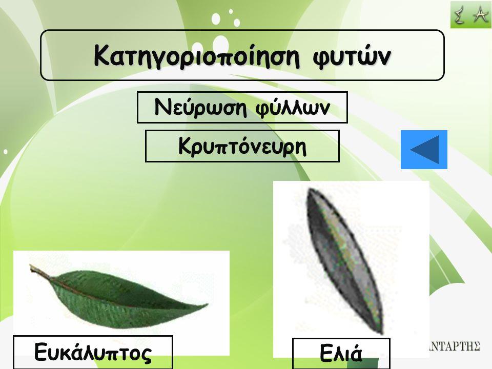 Κατηγοριοποίηση φυτών Νεύρωση φύλλων Κρυπτόνευρη Ευκάλυπτος Ελιά