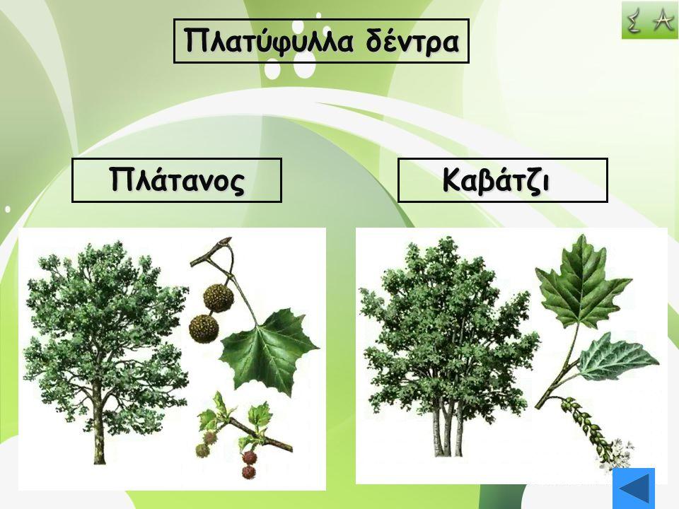 Πλατύφυλλα δέντρα ΠλάτανοςΚαβάτζι