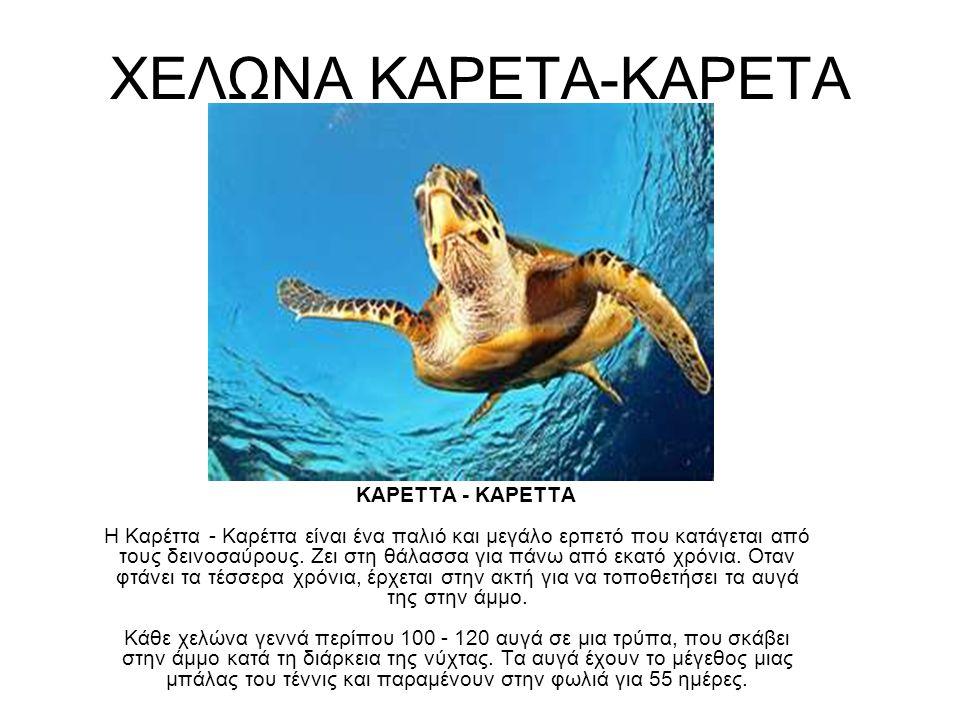 ΧΕΛΩΝΑ ΚΑΡΕΤΑ-ΚΑΡΕΤΑ ΚΑΡΕΤΤΑ - ΚΑΡΕΤΤΑ Η Καρέττα - Καρέττα είναι ένα παλιό και μεγάλο ερπετό που κατάγεται από τους δεινοσαύρους. Ζει στη θάλασσα για