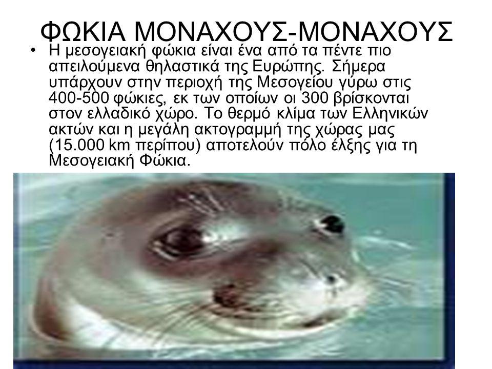 ΦΩΚΙΑ ΜΟΝΑΧΟΥΣ-ΜΟΝΑΧΟΥΣ Η μεσογειακή φώκια είναι ένα από τα πέντε πιο απειλούμενα θηλαστικά της Ευρώπης. Σήμερα υπάρχουν στην περιοχή της Μεσογείου γύ