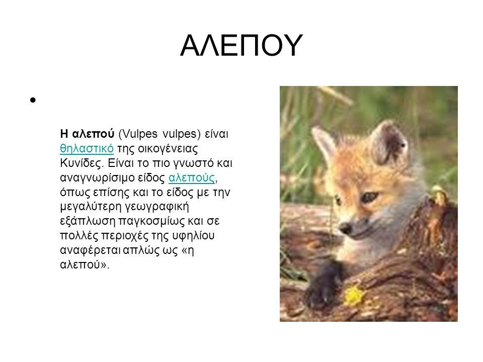 AΛΕΠΟΥ Η αλεπού (Vulpes vulpes) είναι θηλαστικό της οικογένειας Κυνίδες. Είναι το πιο γνωστό και αναγνωρίσιμο είδος αλεπούς, όπως επίσης και το είδος
