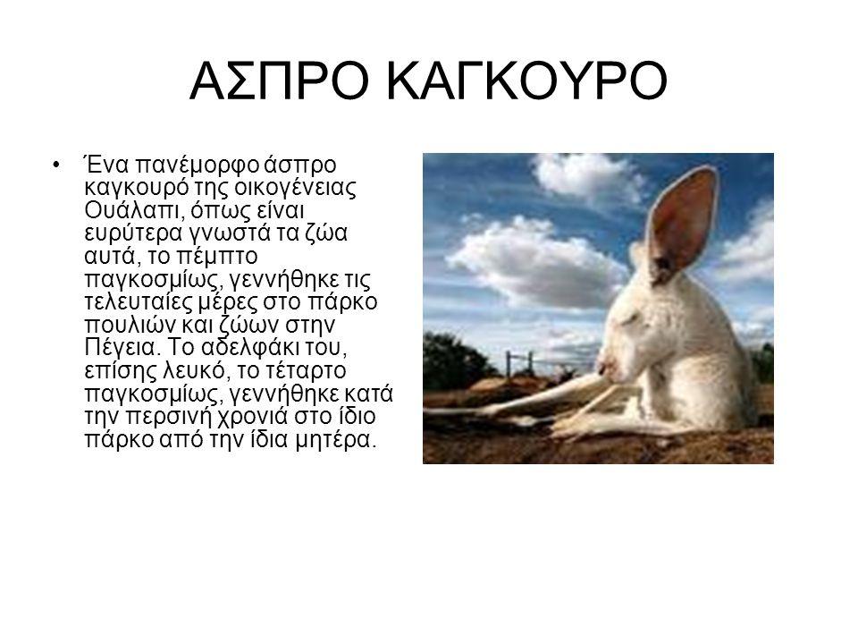 ΑΣΠΡΟ ΚΑΓΚΟΥΡΟ Ένα πανέμορφο άσπρο καγκουρό της οικογένειας Ουάλαπι, όπως είναι ευρύτερα γνωστά τα ζώα αυτά, το πέμπτο παγκοσμίως, γεννήθηκε τις τελευ