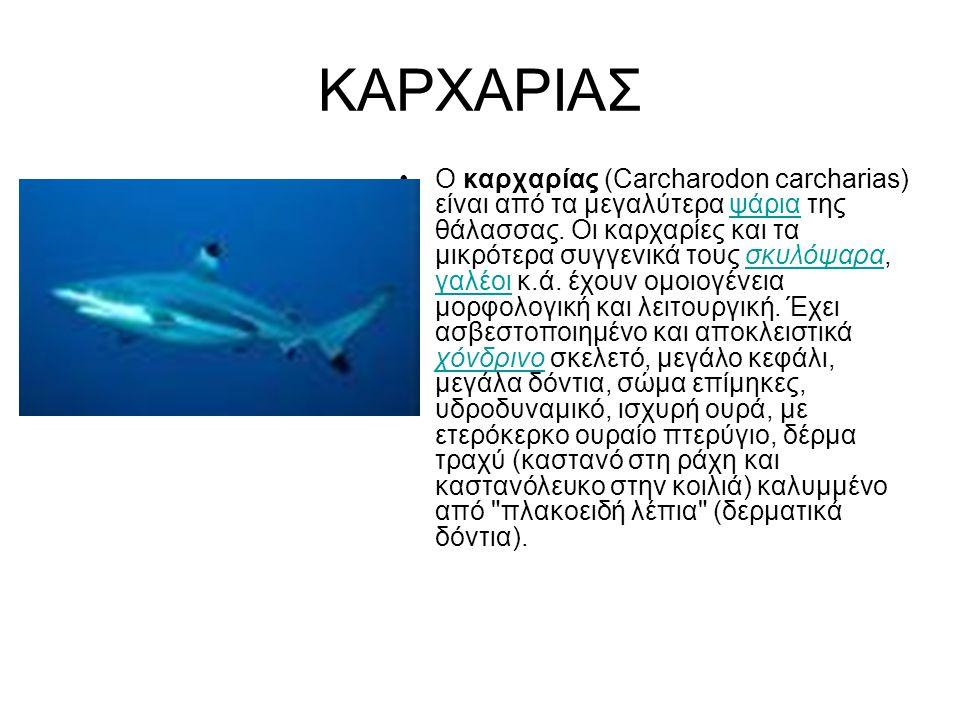 ΚΑΡΧΑΡΙΑΣ Ο καρχαρίας (Carcharodon carcharias) είναι από τα μεγαλύτερα ψάρια της θάλασσας. Οι καρχαρίες και τα μικρότερα συγγενικά τους σκυλόψαρα, γαλ