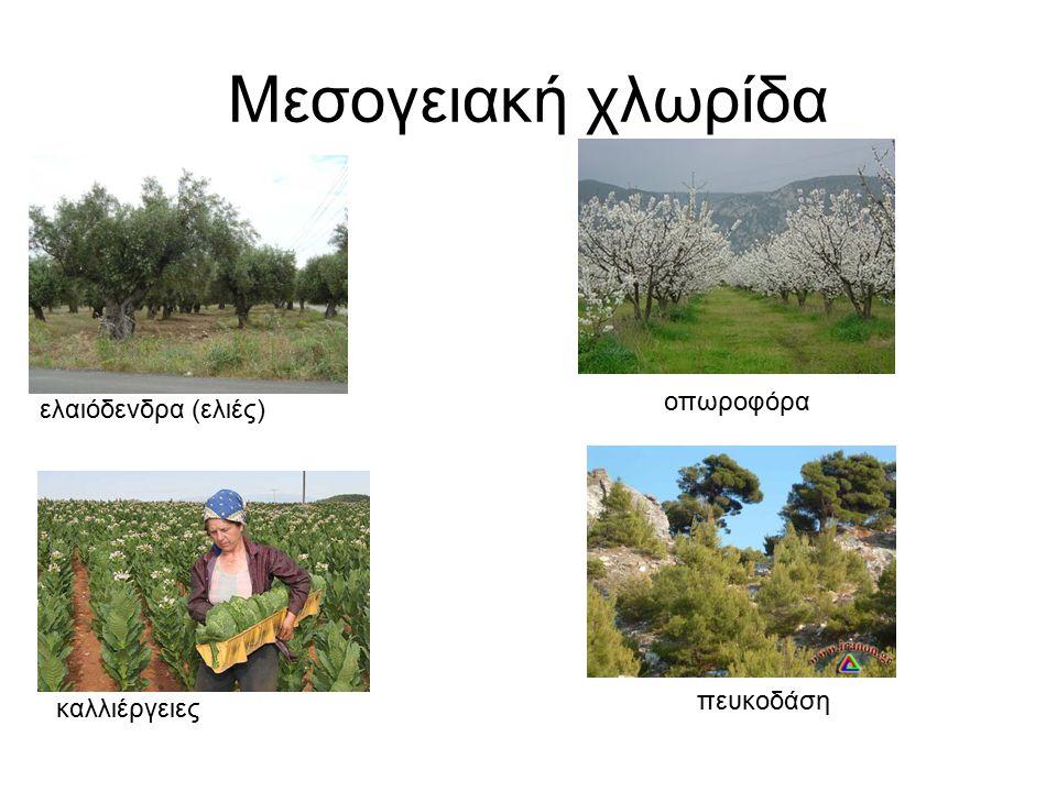 Μεσογειακή χλωρίδα ελαιόδενδρα (ελιές) οπωροφόρα καλλιέργειες πευκοδάση