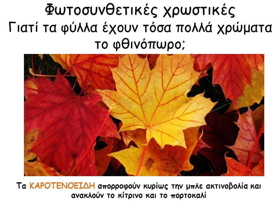 Φωτοσυνθετικές χρωστικές Γιατί τα φύλλα έχουν τόσα πολλά χρώματα το φθινόπωρο; Τα ΚΑΡΟΤΕΝΟΕΙΔΗ απορροφούν κυρίως την μπλε ακτινοβολία και ανακλούν το