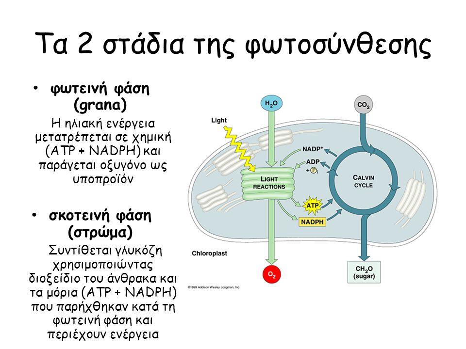 Τα 2 στάδια της φωτοσύνθεσης φωτεινή φάση (grana) Η ηλιακή ενέργεια μετατρέπεται σε χημική (ATP + NADPH) και παράγεται οξυγόνο ως υποπροϊόν σκοτεινή φ
