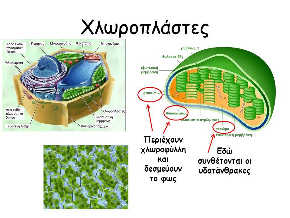 Χλωροπλάστες Περιέχουν χλωροφύλλη και δεσμεύουν το φως Εδώ συνθέτονται οι υδατάνθρακες