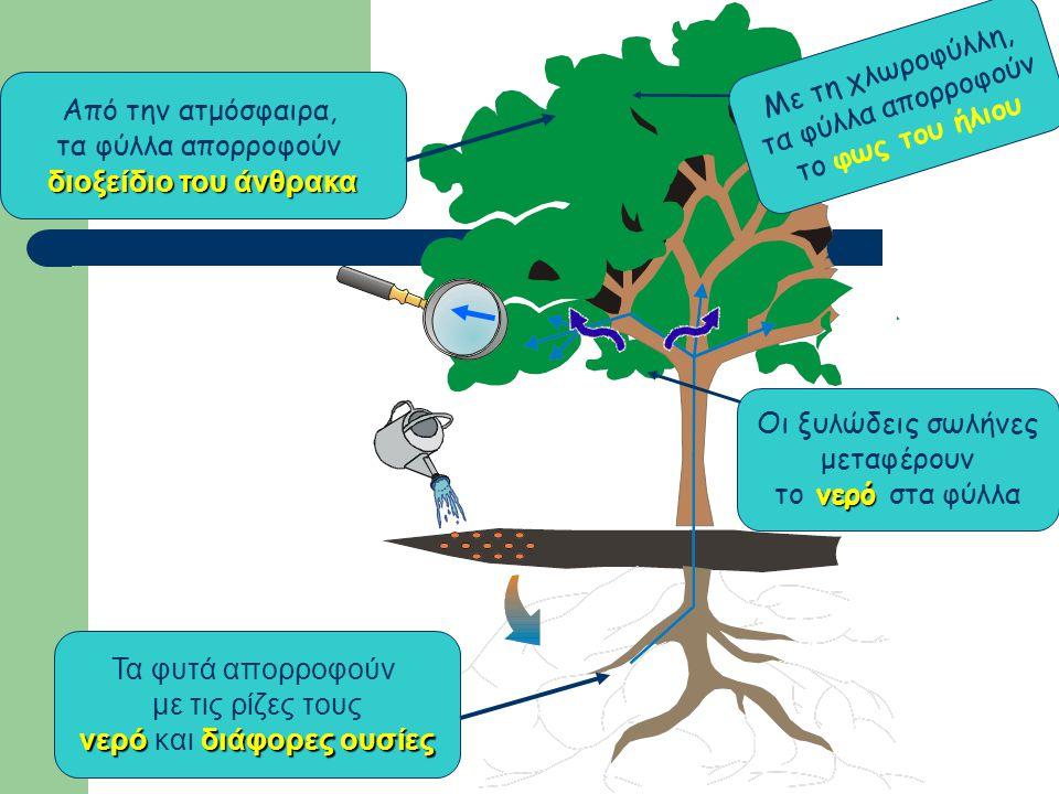 Οι ξυλώδεις σωλήνες μεταφέρουν νερό το νερό στα φύλλα Τα φυτά απορροφούν με τις ρίζες τους νερόδιάφορες ουσίες νερό και διάφορες ουσίες Από την ατμόσφαιρα, τα φύλλα απορροφούν διοξείδιο του άνθρακα Με τη χλωροφύλλη, τα φύλλα απορροφούν το φως του ήλιου
