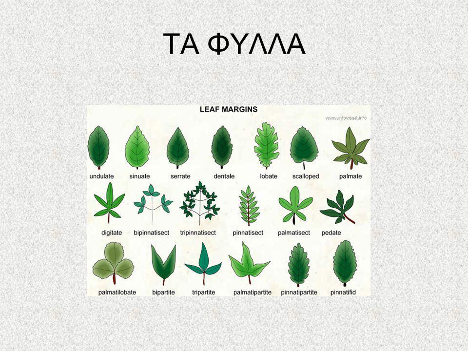 ΦΩΤΟΣΥΝΘΕΣΗ Με την βοήθεια της χλωροφύλλης το φυτό φυλακίζει την ηλιακή ενέργεια Τα φύλλα με τα στόματά τους απορροφούν από τον αέρα CO 2 Το νερό ανεβαίνει από τις ρίζες Φωτόλυση 6CO 2 + 12H 2 OC 6 H 12 O 6 + 6O 2 +6 H 2 O
