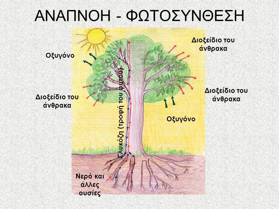 ΑΝΑΠΝΟΗ Αναπνοή: Η Λειτουργία κατά την οποία το φυτό προσλαμβάνει οξυγόνο και αποβάλλει διοξείδιο του άνθρακα Πραγματοποιείται ημέρα και νύχτα φύλλα,