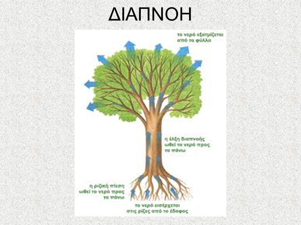 ΔΙΑΠΝΟΗ Διαπνοή είναι η διεργασία μέσω της οποίας η υγρασία μεταφέρεται από τις ρίζες των φυτών μέχρι τους μικρούς πόρους που βρίσκονται στο κάτω μέρο