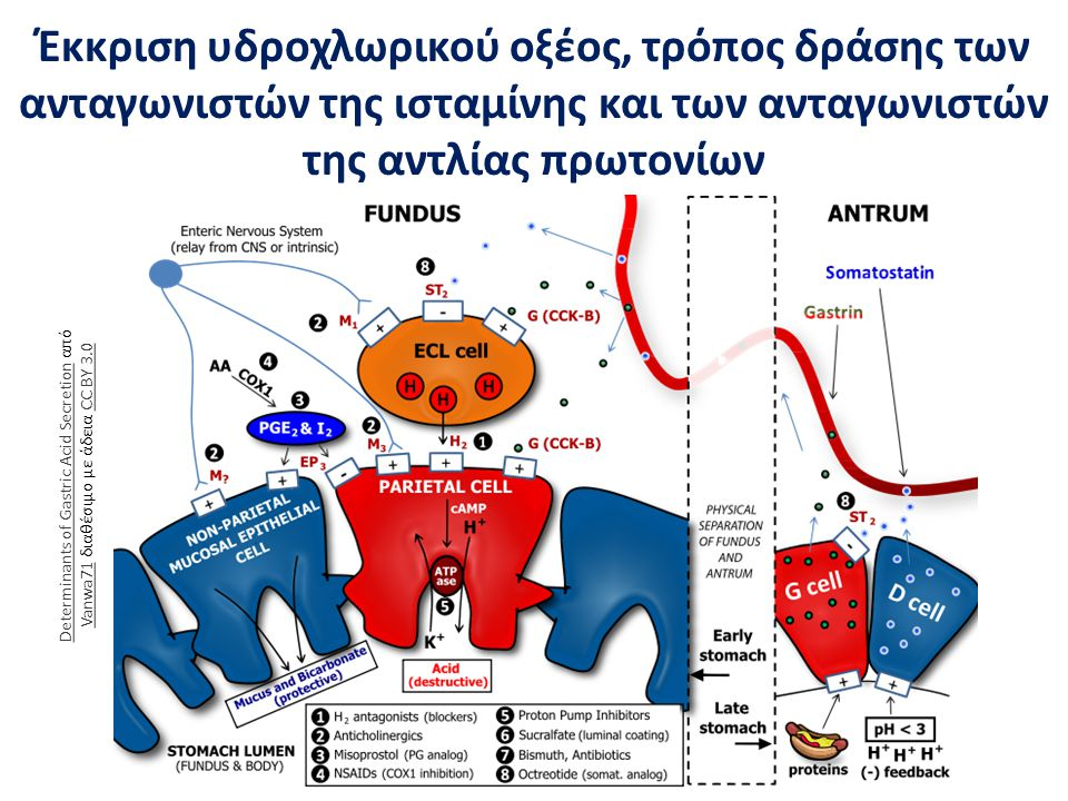 Έκκριση υδροχλωρικού οξέος, τρόπος δράσης των ανταγωνιστών της ισταμίνης και των ανταγωνιστών της αντλίας πρωτονίων Determinants of Gastric Acid Secre
